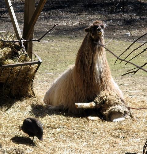 llama on sheep | by jahansell