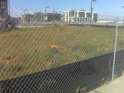 california poppies (on lockdown) | by rakers