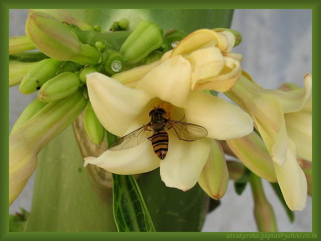 hoverfly on a papaya flower