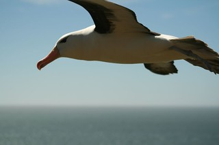 Black Browed Albatross on my shoulder1 | by chrispearson72