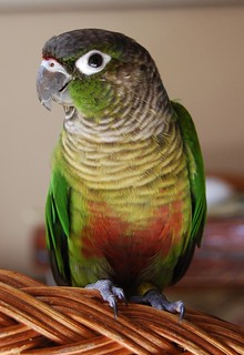 Froggie, Green Cheeked Conure | This is Froggie, my female G