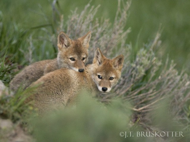 Coyote Pups, Yellowstone National Park