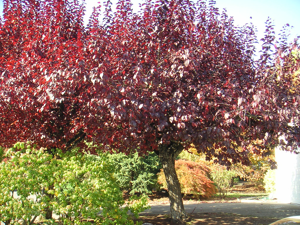 Purple Leaf Plum Tree Prunus Cerasifera Krauter Vesuvius Flickr