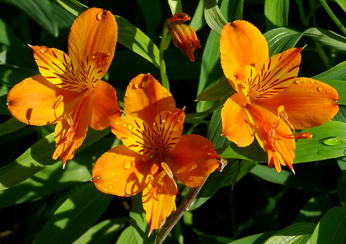 Alstroemeria aurantiaca #1 | by J.G. in S.F.