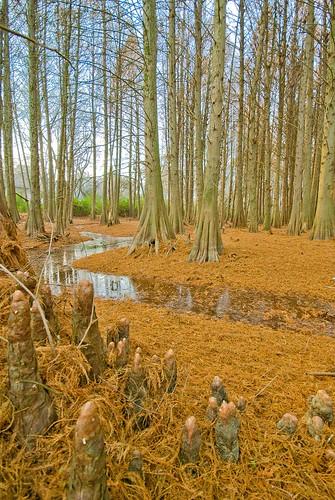 trees forest tennessee cyprus bark swamp knees lightroom