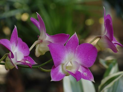 DSC04467 orchids cclose up   by Hobobiker