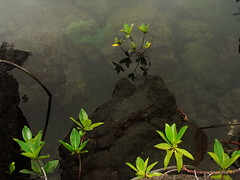 mangrove reflection