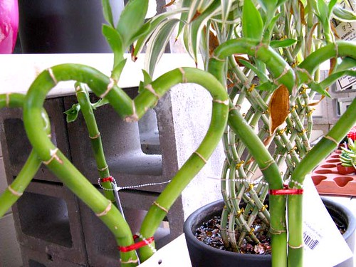 Lucky Bamboo Hearts For My Flickr Friends | by srqpix