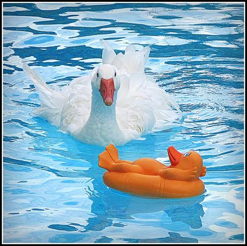 goose swimmingpool sebastopol picnik onblue yellowduck featheryfriday mywinners