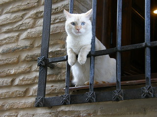 Blue-eyed white cat looking from a window | by josago