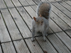squirrel in a London backyard
