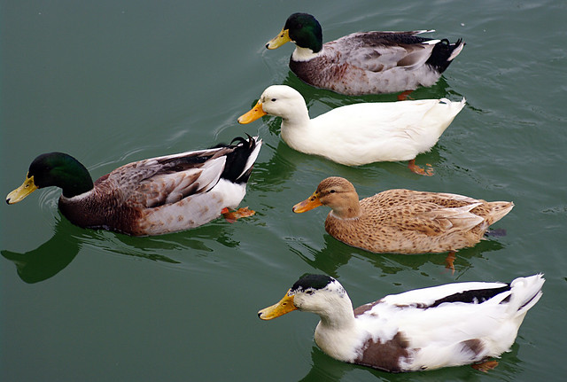 Lucky duck with 4 wives