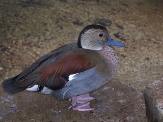 Callonetta leucophrys, Ringed Teal | by lophura