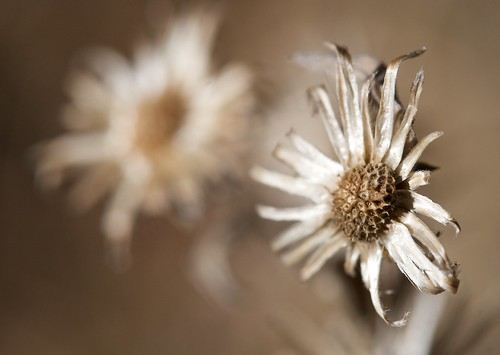 Small dried daisy | by tehgipster