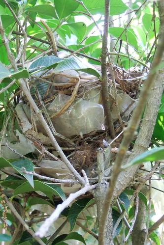 Gray catbird nest | by Wonderers