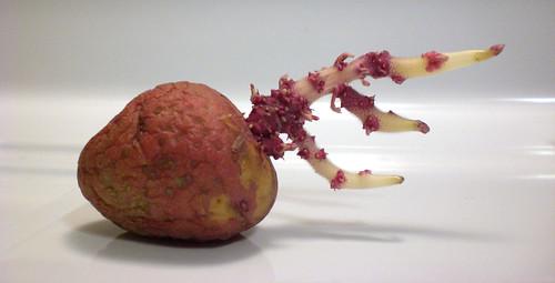 Crazy Potato 2 | by dlancea