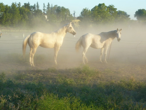 sunset horses dusty pasture arabian quarterhorse