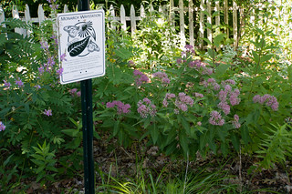 01867 Monarch Waystation with Swamp Milkweed | by rockerBOO