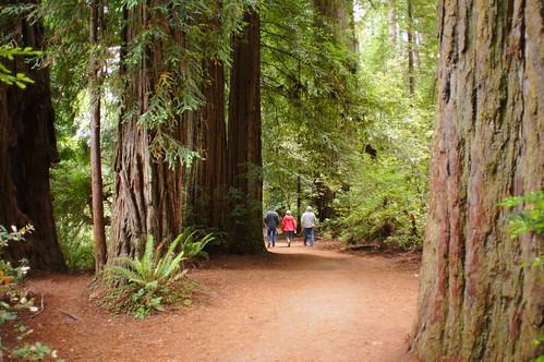 california redwoods stoutgrove