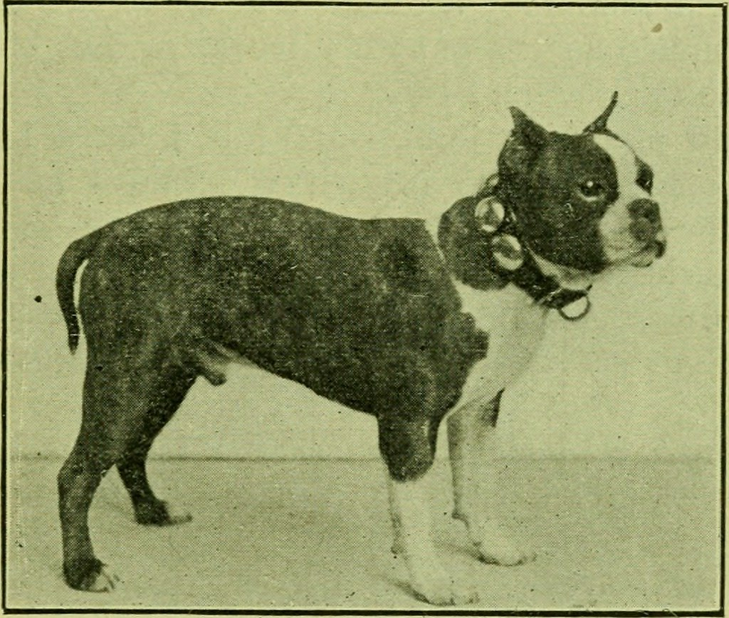 Image From Page 50 Of The Boston Terrier Its History Po Flickr