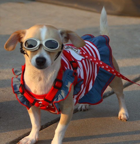 Patriotic Pampered Pocket Pooch Posing Proudly