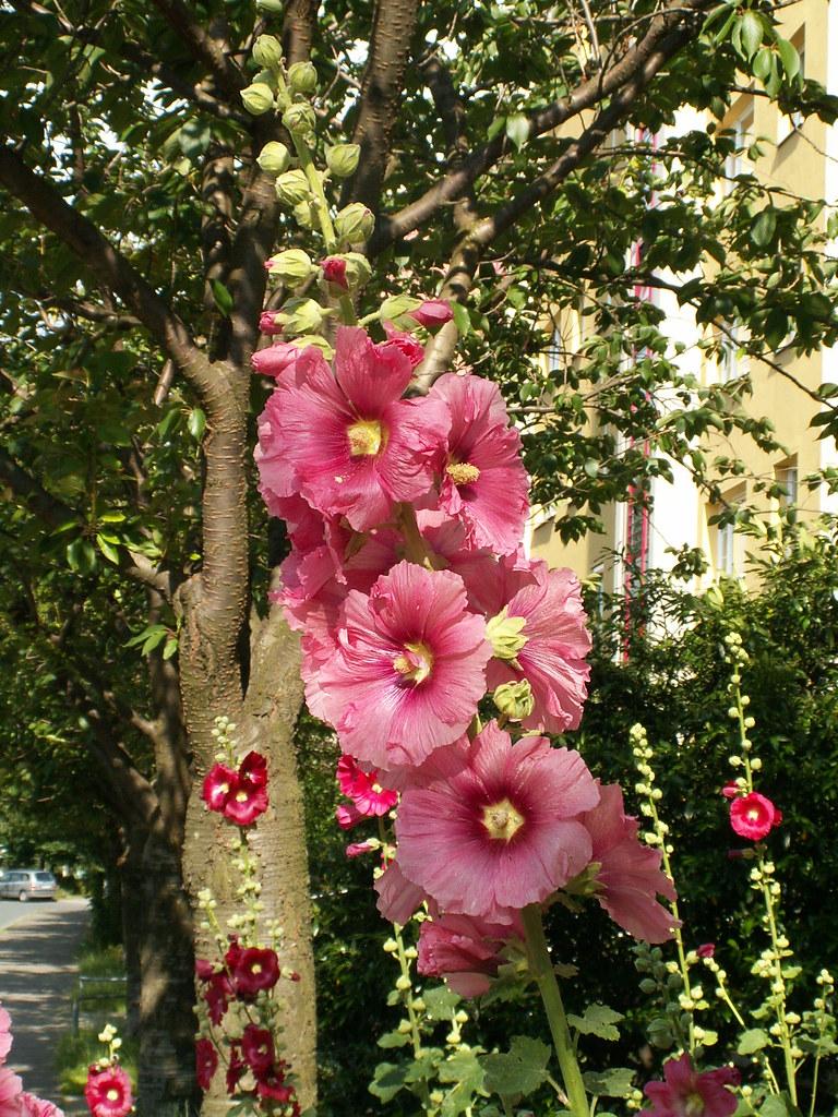 Blüte in Dresden, dein Reiz veraltet niemals, so oft ich hier wandle. Dank dem edlen Geiste, der das süsse Labyrinth erschuf und uns vergönnte, hier, wo aus grünen Bäumen Bilder uns grüßen, wo Blumenpracht den Frühling ausgießt, und Duft und Farben spendend 007