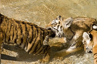 A Tiger  By the Tail | by Picture Taker 2