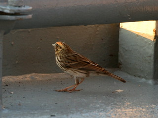 Song Sparrow (Melospiza melodia) 4 | by Oretani Wildlife (Mike Grimes)