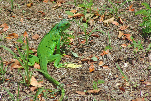 Florida Wild Iguana