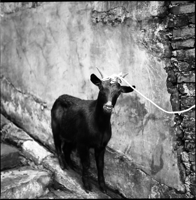 goat on a rope