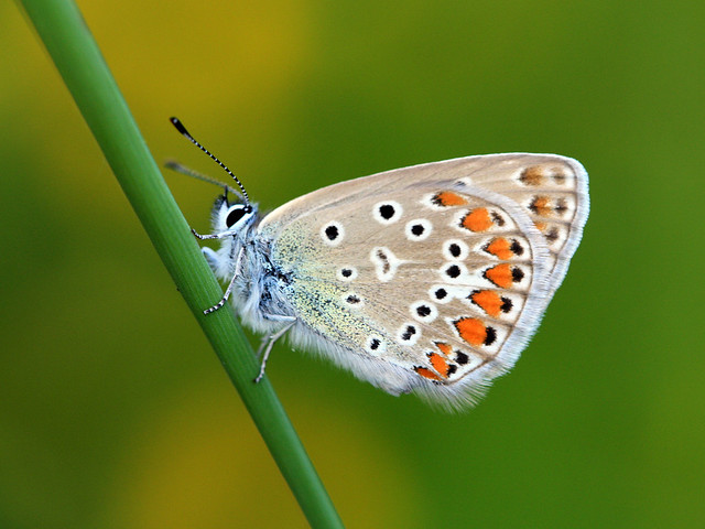 Female Common Blue(Polyommatus icarus)