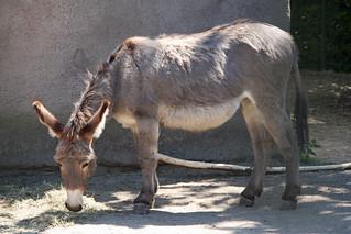 Donkey at Aalborg Zoo | by Ullisan