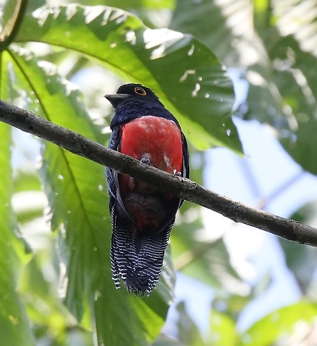 IMG_7813_blue crowned trogon-female | by joel n rosenthal