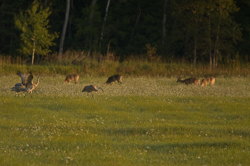fall field sunrise deer cranes buck sandhill