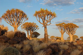 Quiver Tree Forest, Keetmanshoop | by Sara&Joachim
