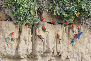 IMG_8357_1 red and green macaws-Blanquillo clay lick | by joel n rosenthal