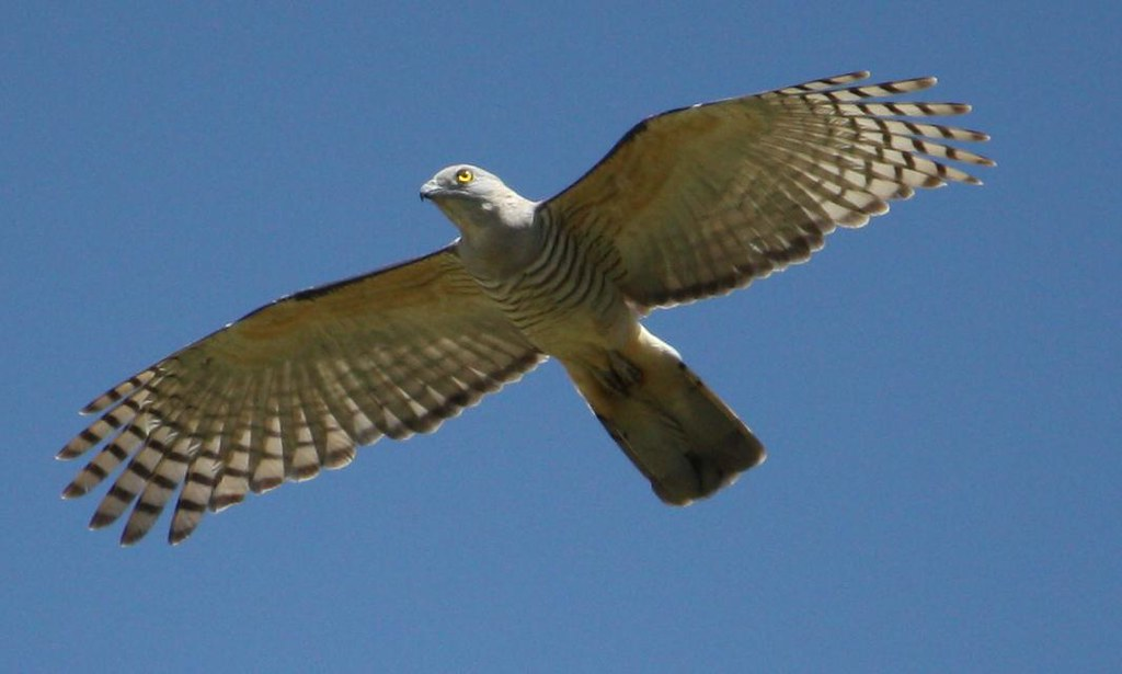 Img 1017 Bird Of Prey Queensland Eve Manning Flickr