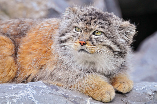 Male Pallas's cat lying 2 | by Tambako the Jaguar