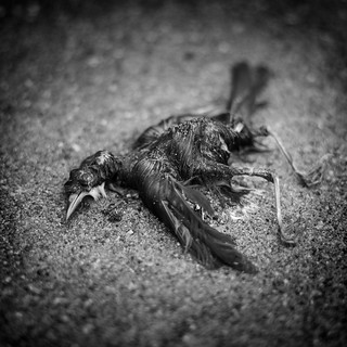 Dead Bird Black & White | by andyburnfield