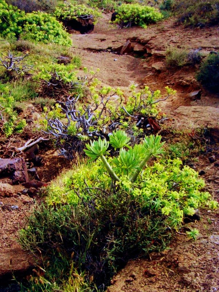 Lanzarote -Wildwuchs bei Arrecife