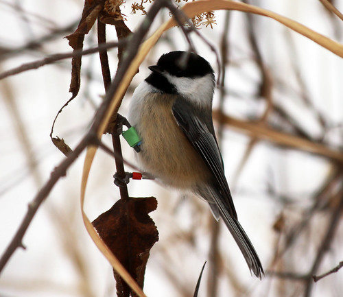Black-capped Chickadee showing color band and transponder
