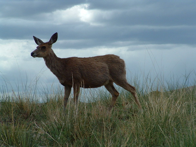 DUNES DEER BEFORE THE STORM