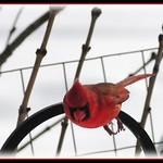 Cardinal Freefall 001
