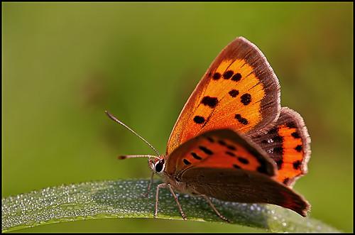 Small Copper...