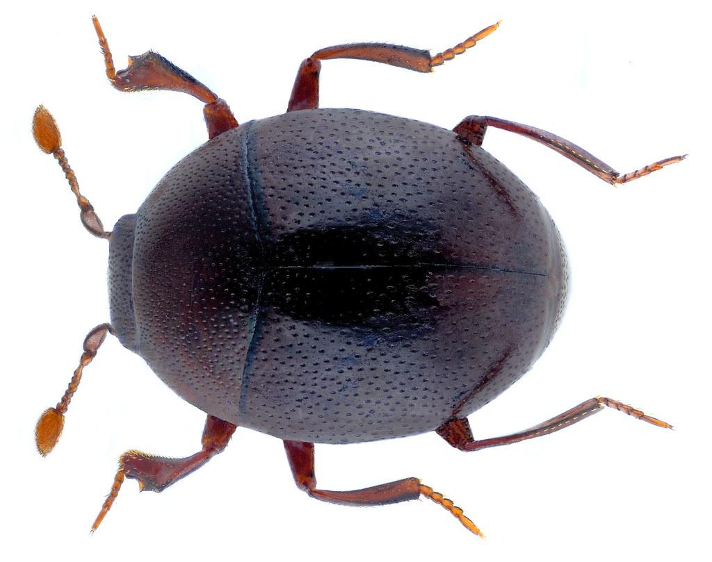 Abraeus perpusillus (Marsham, 1802)