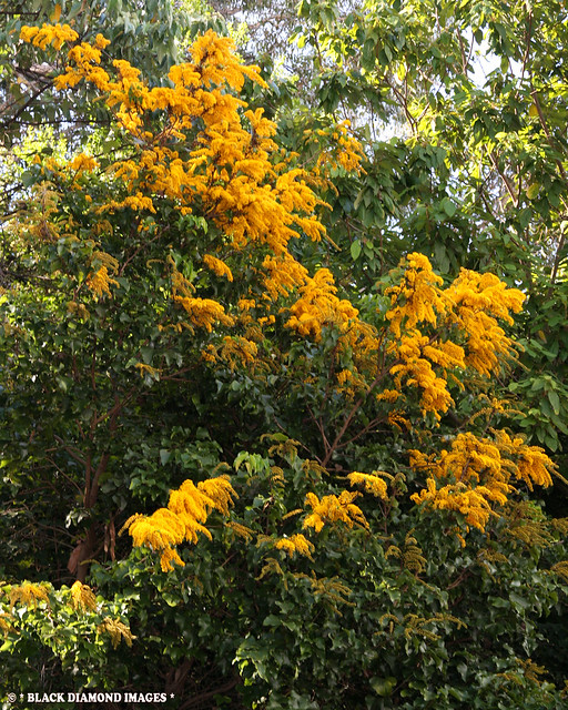 Barklya syringifolia - Barklya,Crown of Gold Tree,Golden Glory Tree