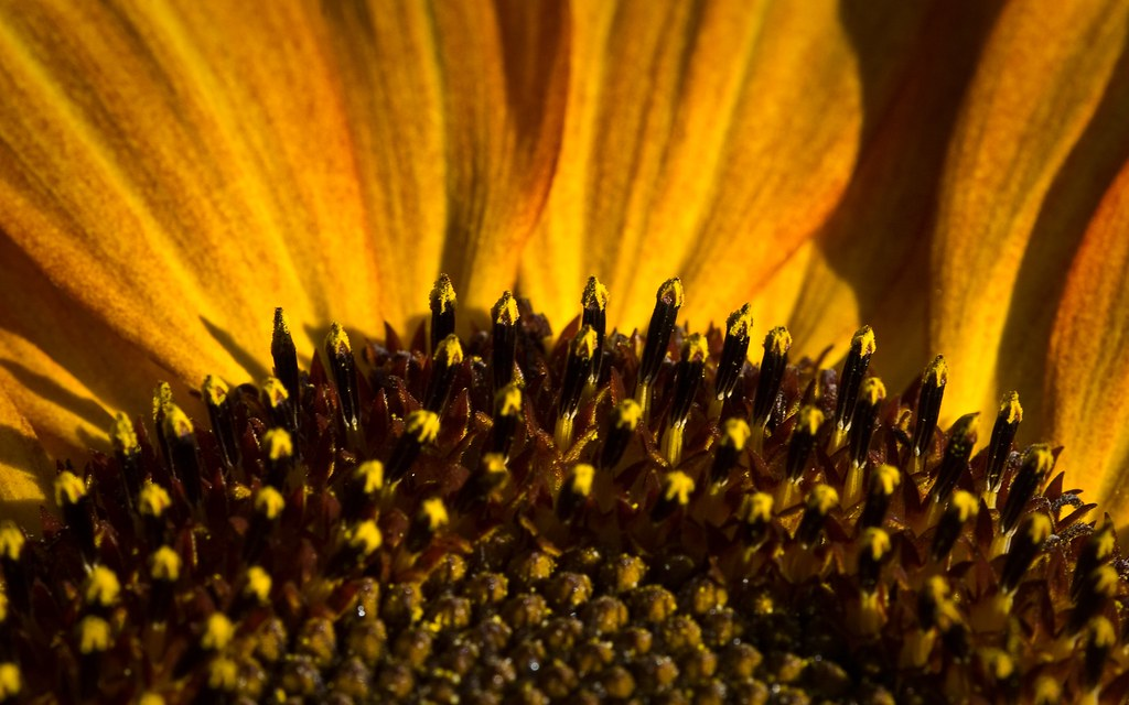 ... sunflower - desktop background wallpaper | by (matt)