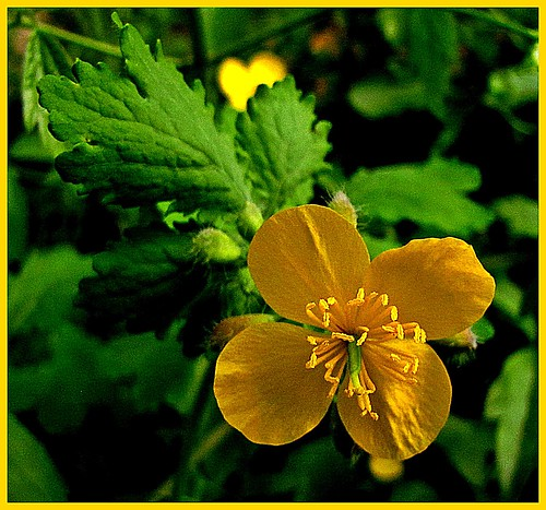 wildflower rosaceae shepherdspurse fantasticnature flickraward mersinflora goldcolorflower