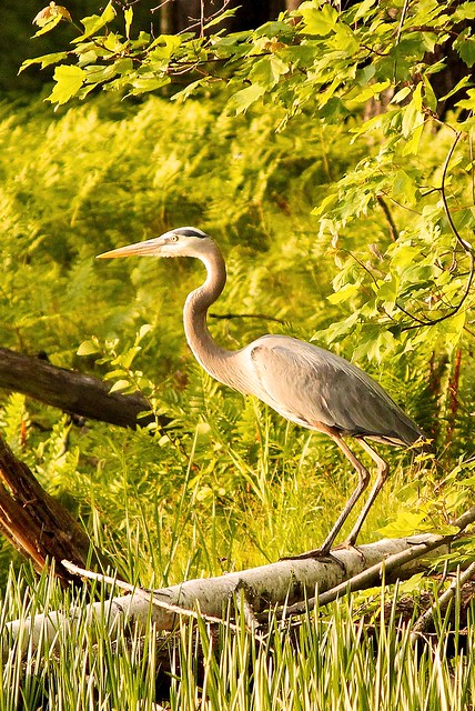 MAP2379 Great Blue Heron—Ready