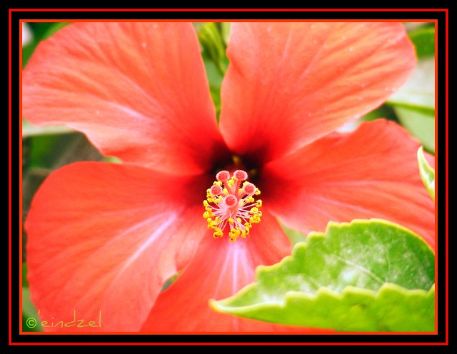 Red Tropical Hibiscus Flower Common Name Hibiscus Scient Flickr